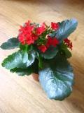 kalanchoe, żyworódka, rośliny pokojowe, rośliny kwitnące zimą, choroby roślin doniczkowych