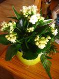 rośliny pokojowe, rosliny doniczkowe, Kalanchoe, żyworódka