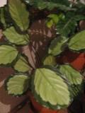 kalatea rosastar, Calathea  roseopicta