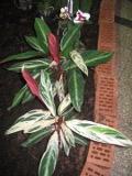 kalatea triostar, Calathea  triostar, rośliny pokojowe, rośliny doniczkowe