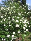 rośliny krzewy, kalina koreańska