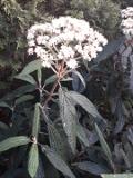 kalina sztywnolistna, galeria roślin, zdjęcia roślin