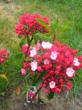 krzewy ogrodowe, krzewy trudniejsze w uprawie, krzwy liściaste, kalmia wąskolistna