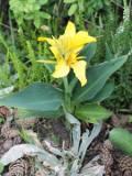 kanna, paciorecznik, ogród ozdobny , rośliny cebulowe i bulwiaste, roślin narabaty pomarańczowe, żółte kwiaty