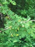 karagana syberyjska, galeria roślin