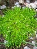 Ogrodnik-amator, opis rośliny, Karmnik ościsty, Sagina subulata,  Heath pearlwort, Irish-moss, awl-leaf pearlwort, uprawa karmnika ościstego, kwiaty wieloletnie, byliny, kwiaty ciekawie kwitnące, kwiaty ogrodowe, kwiaty o drobnych kwiatach,  kwiaty lata