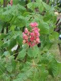 ogród ozdobny , drzewa ozdobne, rośliny ogrodowe, ogrody kasztanowiec czerwony, drzewo kwitnące w maju