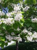 ogród ozdobny , drzewa ozdobne, rośliny ogrodowe, ogrody katalpa, surmia, drzewo kwitnące w czerwcu-lipcu
