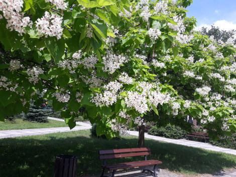 ogród kwitnące drzewo ozdobne, katalpa, surmia, aranżacje, ogród, urządzanie ogrodu, aranżacje z roślin, galeria ogrodowa, kwitnące drzewo ozdobne, katalpa