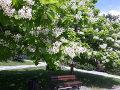 drzewa kwitnące, rosliny pachnące, ogród, katalpa, surmia, w parku, aranżacje ogrodowa, galeria ogrodowa
