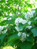 drzewa ogrodowe, drzewa trudniejsze w uprawie, drzewa liściaste, katalpa, surmia