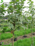 Ogrodnik-amator, opis rośliny, Klon zwyczajny, klon pospolity, Acer platanoides, Norway maple, uprawa klonu zwyczajnego,  opis rośliny, drzewa łatwe w uprawie, drzewa lisciaste, drzewa ozdobne, drzewa o ozdobnych liściach, galeria drzew