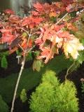 drzewa liściaste klon pospolity, zwyczajny