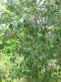 klon ginnala, galeria roślin, zdjęcia