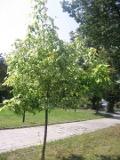 drzewa liściaste klon jesionolistny