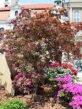 rośliny dzrewiaste, drzewa, klon palmowy