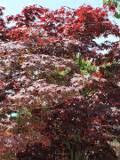 drzewa liściaste, klon pamowy