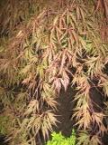 drzewa ogrodowe, drzewa łatwe w uprawie, drzewa LIŚCIASTE, klon palmowy