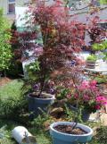 Ogrodnik-amator, opis rośliny, Klon palmowy, Acer palmatum, Japanese maple, uprawa klonu palmowego, opis rośliny, drzewa trudniejsze w uprawie, drzewa lisciaste, drzewa ozdobne, drzewa o ozdobnych liściach, galeria drzew, rośliny jesieni, rośliny o wybarwionych liściach, drzewa i krzewy o kolorowych liściach, drzewa o jesiennego ogrodu, drzewa o dekoracyjnych liściach,