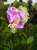 ogr�d pn�cza ogrodowe , kwiaty, kobea pn�ca