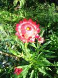 Ogrody, rośliny jednoroczne , kocanki ogrodowe