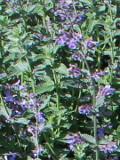 ogród kwiaty ogrodowe , byliny,  kwiaty kwitnące latem, kocimiętka, nepeta