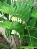 Ogrody, zdjęcia Kokoryczka wielokwiatowa,  Polygonatum multiflorum, Solomons-seal, uprawa kokoryczki wielokwiatowej, kwiaty wieloletnie, byliny, kwiaty wiosenne