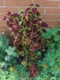 rośliny doniczkowe, koleus, pokrzywka brazylijska