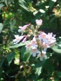 ogrodnik, ogród, uprawa, rośliny na suchą glebę, kolkwicja chińska