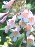 krzewy liściaste kolkwicja chińska