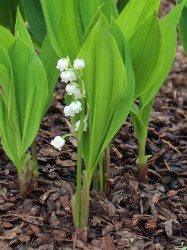byliny pachnące, konwalia, konwalie, rośliny pachnące, zapachy w ogrodzie