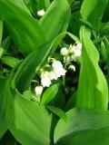 Ogrody, zdjęcia konwalia kwiat, konwalie w  ogrodzie