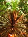 kordylina australijska, Cordyline australis, roślina drzewiasta, krzewiasta, zdjęcia rośliny, rośliny pokojowe