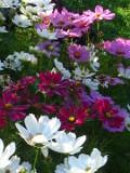 ogród ozdobny , kwiaty, rośliny kwitnące, kosmos, onętek, kosmosy