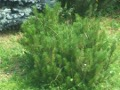 Ogrodnik-amator, opis rośliny, Kosodrzewina, sosna górska, Pinus mugo, Swiss Mountain Pine, uprawa kosodrzewiny, uprawa sosny górskiej, opis rośliny, krzewy łatwe w uprawie, krzewy iglaste, iglaki, galeria krzewów