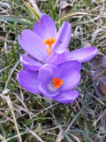 Ogrodnik-amator, opis rośliny, Krokus, Crocus vernus, Ogrodnik-amator. Uprawa krokusów, opis rośliny. krokus kwiat, kwiaty krokusa, krokusy kwiaty