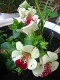 Ogrodnik-amator, opis rośliny, Kroplik tygrysi, figlarz, Mimulus tigrinus, Blood-drop-emlets, uprawa kroplika, pielęgnacja figlarza, opis rośliny, kwiat, Kwiaty jednoroczne uprawiane z rozsady, kwiaty w plamki, kwiaty letnie, kwiaty łatwe w uprawie, rośliny kwitnące latem