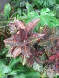 zdjęcia krotona, kroton w domu, tóskrzyn roślina pokojowa