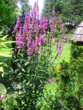 krwawnica pospolita, bylina, zdjęcia rośliny, galeria roślin bylin