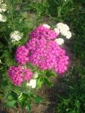 Ogrody, rośliny  , krwawnik pospolity