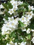 Ogrodnik-amator, opis rośliny, krzewuszka cudowna, Wajgelia cudowna, Weigela, uprawa krzewuszki cudownej, uprawa wajgeli, krzewy kwitnące wiosną, krzewy o różowych kwiatach, krzewy o karminowych kwiatach, krzewy na gleby żyzne