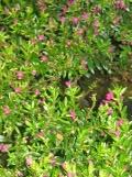 rośliny doniczkowe na balkony i tarasy  kufea hyzopolistna