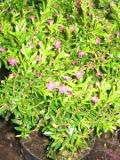 Kufea hyzopolistna, zdjęcia roślin na k, galeria roślin