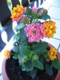 kwiaty balkonowe, lantana, balkony i tarasy