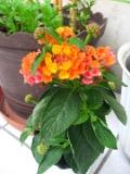 Ogrodnik-amator, opis rośliny, Lantana pospolita, Lantana camara, Spanish Flag or West Indian Lantana, uprawa lantany, krzewy kwitnące przez całe lato, krzewy kwitnące jesienią, krzewy o pięknych kwiatach, krzewy o małych wymaganiach glebowych, rośliny na balkony i tarasy, krzewy zimujące w pomieszczeniach