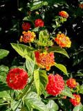 rośliny balkonowe, na tarasy, lantana