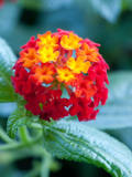 ogród ozdobny , rośliny egzotyczne, rośliny  na balkony i tarasy, kolorowe kwiaty