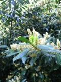 krzewy liściaste laurowiśnia wschodnia