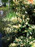 ro�liny krzewiaste , krzewy wieczniezielone, laurowi�nia wschodnia