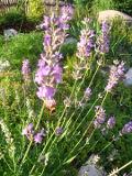 Ogrodnik-amator, opis rośliny, Lawenda wąskolistna, Lavandula angustifolia, uprawa lawendy wąskolistnej, krzewinka kwitnąca latem, krzewy o fioletowoniebieskich kwiatach, rośliny na miejsca słoneczne, Krzewy łatwe w uprawie, krzewy lisciaste zimozielone, rośliny pachnące